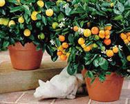 выращивание и продажа лимонов