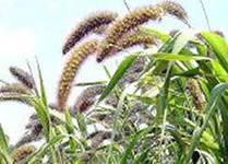выращиваем чумизу на корм домашним животным