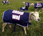 креативная реклама на овцах