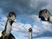 разведение страусов, новый российский бизнес