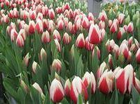 свое дело: бизнес на выращивание тюльпанов в теплице