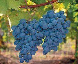 бизнес на выращивание винограда в теплицах