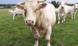 сдача породистых коров в аренду как идея бизнеса