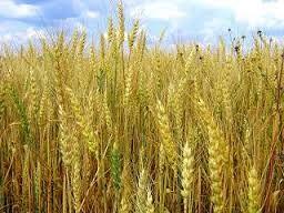 выращивание и продажа ржи как идея бизнеса
