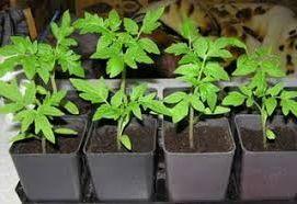 выращивание и продажа рассады как идея заработка