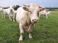 коровы на прокат
