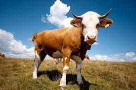 Разведение и продажа бычков как идея малого бизнеса
